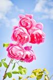 Rosas del verano Fotografía de archivo