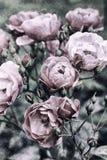 Rosas del vintage imágenes de archivo libres de regalías