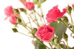 Rosas delicadas del espray Imagen de archivo libre de regalías