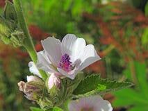 Rosas delicadas do verão bonito Fotos de Stock Royalty Free