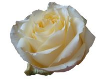 Rosas delicadas y hermosas de la crema de la flor en un fondo blanco fotografía de archivo libre de regalías