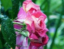 Rosas después de la lluvia Imagenes de archivo