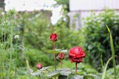 Rosas después de la lluvia fotos de archivo