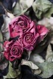 Rosas desvanecidas Fotografia de Stock Royalty Free