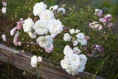 Rosas detrás de la cerca Foto de archivo