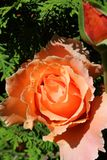 Rosas do abricó que esticam para o sol fotos de stock royalty free