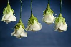 Rosas do açúcar Fotografia de Stock Royalty Free