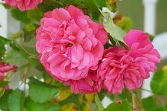 rosas do centifolia, o Provence cor-de-rosa ou couve cor-de-rosa ou Rose de Mai imagens de stock royalty free