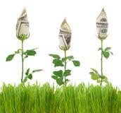 Rosas do dinheiro Imagem de Stock
