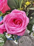 Rosas do equador imagens de stock royalty free