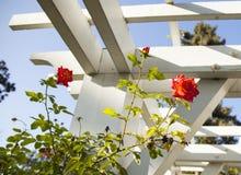 Rosas do jardim Foto de Stock