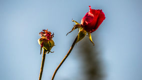 Rosas do outono Fotografia de Stock Royalty Free