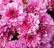 Rosas do outono, rosa das cores Imagens de Stock