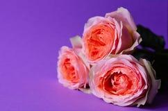 Rosas do pêssego no fundo violeta de papel fotografia de stock royalty free