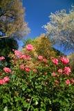 Rosas do parque imagem de stock