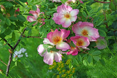 Rosas do verão Imagens de Stock Royalty Free