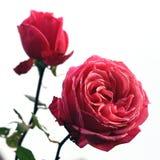 Rosas do vintage Fotos de Stock