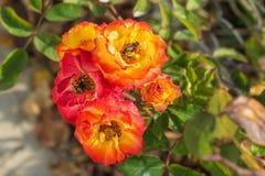 Rosas e abelha de chá em Bulgária Imagens de Stock
