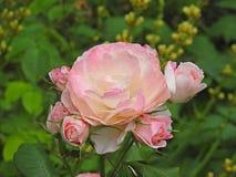Rosas e botões do verão do prado Fotos de Stock