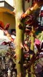 Rosas e espinhos imagem de stock