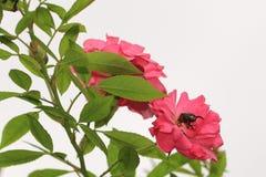 Rosas e insecto Fotografía de archivo