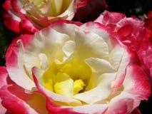 Rosas elegantes Imagens de Stock
