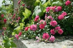 Rosas em Crimeia imagens de stock