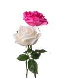 Rosas em um fundo branco Fotos de Stock Royalty Free