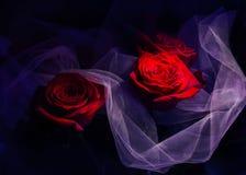 Rosas em um fundo dramático escuro foto de stock