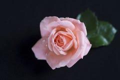 Rosas em um fundo preto imagem de stock