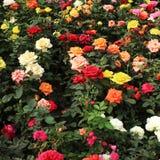 Rosas em um jardim Imagens de Stock