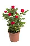Rosas em um potenciômetro de flor imagem de stock