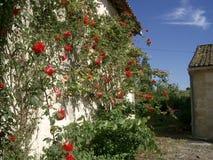 Rosas em um vinhedo do Bordéus Fotos de Stock Royalty Free