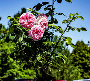 Rosas en blossem completo Foto de archivo libre de regalías