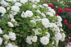 Rosas en casa Fotografía de archivo libre de regalías