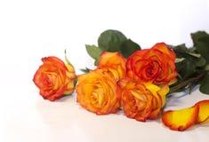 Rosas en el fondo blanco Imagen de archivo libre de regalías