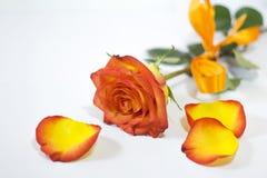 Rosas en el fondo blanco Foto de archivo libre de regalías