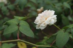 Rosas en el jardín Fotos de archivo libres de regalías