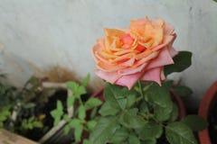 Rosas en el jardín, Imagen de archivo libre de regalías