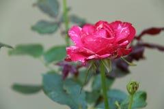 Rosas en el jardín Fotografía de archivo