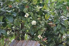 Rosas en el jardín Fotos de archivo