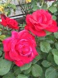 Rosas en el jardín Imagenes de archivo