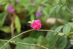 Rosas en el jardín, versión 1 Fotografía de archivo libre de regalías