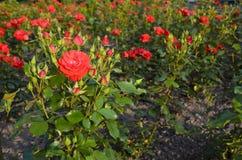 Rosas en el parque. Fotos de archivo libres de regalías