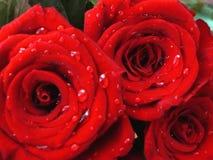 Rosas en el rocío foto de archivo libre de regalías