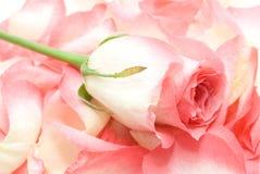 Rosas en fondo Fotografía de archivo libre de regalías