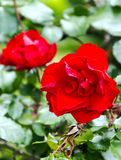 Rosas en fondo borroso Foto de archivo libre de regalías