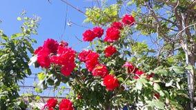 Rosas en Igualada imagen de archivo