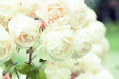 Rosas en jardín Imágenes de archivo libres de regalías