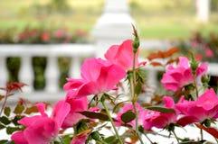 Rosas en jardín imagen de archivo libre de regalías
